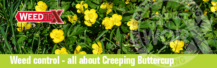 Weed control – all about creeping buttercup